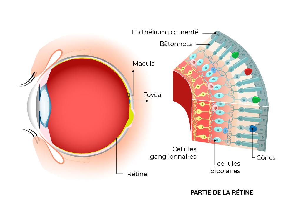 Schéma explicatif de la rétine de l'oeil